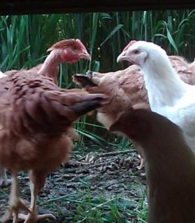poulet roux cou nu